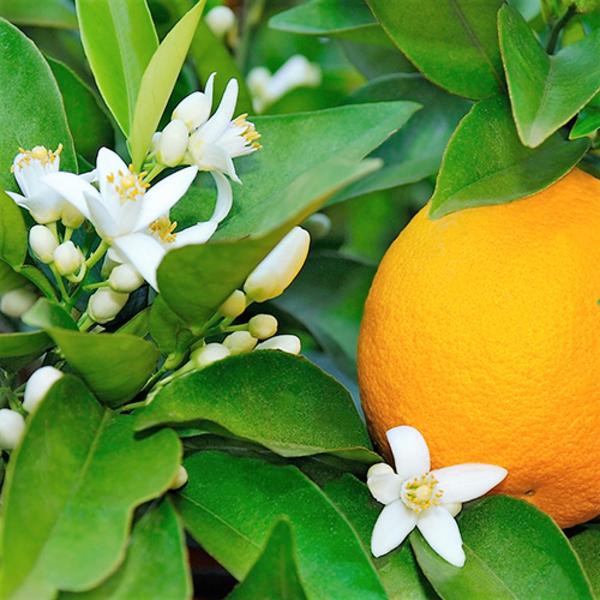 苦橙葉精油
