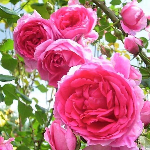 大馬士革玫瑰純露